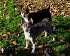rat terrier breeders kentucky