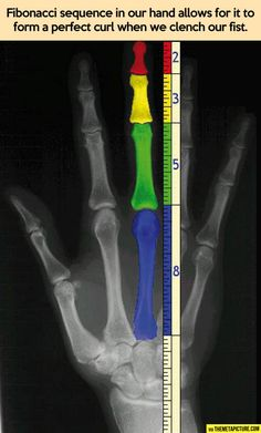 Fibonacci sequence in our hand. Its everywhere!