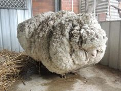 An Australian sheep, named Chris by his rescuers, is pictured before being shorn of over 40 kilograms (88.2 lbs) of wool on September 3, 2015, after being found near Australia's capital city Canberra. REUTERS/RSPCA/Handout via Reuters