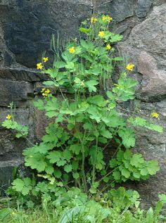 Svaleurt (Chelidonium majus)