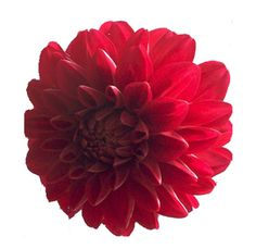 Red Dahlia Flowers- order wholesale and make your bouquet