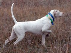 english pointer dog photo | English Pointers are great pointing dogs for hunting upland birds.