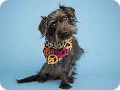 Pictures of ALANNAH a Yorkie, Yorkshire Terrier Mix for adoption in Phoenix, AZ who needs a loving home.