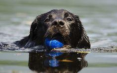 Black Labrador Retriever swimming with blue ball