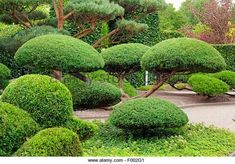 Juniper topiary - This is what we have, but I'm going to try ...