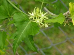UF/IFAS Okeechobee Extension Service | Milkweed Vine Morrenia odorata