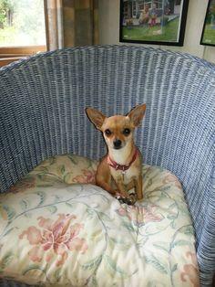 Lille Chihuahua | Pawshake