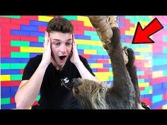 Guy Meets His Very First Sloth in Dallas. After taking a trip to Dallas for a surprise. His friend had set him up for his very own first sloth encounter. Roblox Roblox, Games Roblox, Baby Sloth, Dallas Texas, Program Design, Real Life, Have Fun