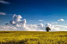 Last of the Rapeseed by Alan Sheers on 500px