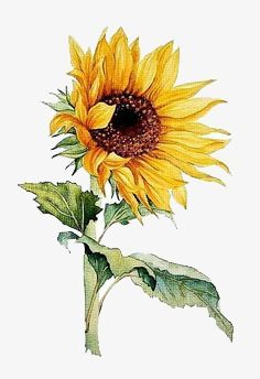 Sunflower Watercolor Painting Floral Art Print Watercolor Flower Watercolor Painting Flower Painting Floral Art Sunflower Watercolor Painting Floral Art Print Watercolor Flower Watercolor Painting Flower Painting Floral Art Art by Angela Tatli nbsp hellip Sunflower Drawing, Sunflower Art, Yellow Sunflower, Sunflower Paintings, Sunflower Sketches, Sunflower Design, Arte Floral, Watercolour Painting, Watercolor Flowers