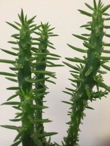 Austrocylindropuntia subulata or Eve's Needle are unique, succulent, #cactus #houseplants http://www.houseplant411.com/askjudy/is-this-houseplant-a-cactus-or-a-succulent