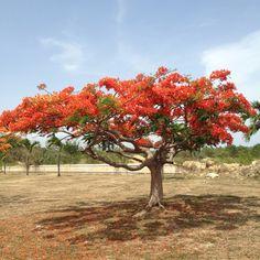 Flamboyan Tree. Picture taken @LaGuancha #Ponce, PR