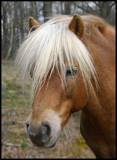 Swedish horse (Gotlandsruss)