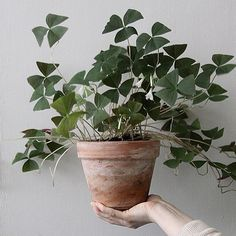 The Oxalis plant in a weathered terracotta pot makes for an incredibly beautiful and sculptural indoor plant. If you would like to introduce one to your own home, ensure it has adequate drainage and p House Plants Decor, Plant Decor, Outdoor Plants, Outdoor Gardens, Oxalis Triangularis, Plants Are Friends, Green Plants, Plants In Pots, Plantation