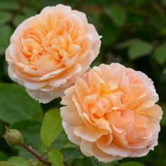 The Lady Gardener - David Austin Roses