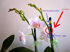 Where to cut an orchid spike to encourage a rebloom. Also, I want those moth clips!How to cut a phalaenopsis orchid spike, when blooms dying, to try to reproduce blooms. Related Post Blue Hawaii Orchid — how can something so be. Phalaenopsis How to Orchids Garden, Orchid Plants, Air Plants, Garden Plants, House Plants, Indoor Plants, Orchid Seeds, Moth Orchid, Potted Plants