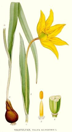 Metstulp. Tulipa silvestris by Carl Axel Magnus Lindman.