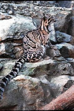 * Clouded leopards have extremely long fluffy tails. They use these big tails for balance while hunting in the trees. They live mostly in trees, and are very secretive and nocturnal. We know very little about their habits but research continues in Borneo and Sumatra.