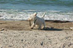 Westie Puppy day at the Beach Westie Puppies, Westies, West Highland Terrier, West Highland White, White Terrier, White Dogs, Scottish Terrier, Puppys, Beach Bum