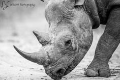 Close up of a Black rhino walking on the road in black royalty-free stock photo Big Animals, Safari Animals, Wildlife Photography, Animal Photography, Work In Africa, Black Royalty, Kruger National Park, Black And White Pictures, Walk On