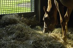 Our nutrition expert considers grain hays, grass hay, and alfalfa for feeding growing horses.