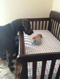 So precious, this Great Dane watching over his baby brother
