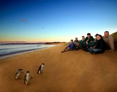 Fairy penguins on Phillip Island, Australia