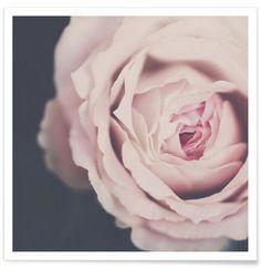 Rose Pink - Ingrid Beddoes - Premium Poster