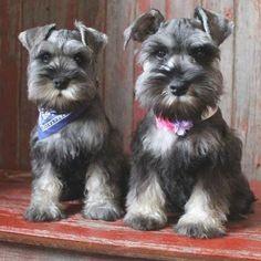 Schnauzer Grooming, Miniature Schnauzer Puppies, Schnauzer Puppy, Schnauzers, Cute Puppies, Cute Dogs, Animals Beautiful, Cute Animals, Fox Terriers