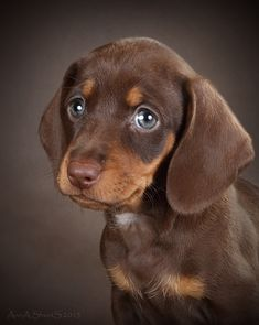 Dapple Dachshund, Dachshund Puppies, Dachshund Love, Dachshunds, Chihuahua, Cute Puppies And Kittens, Cute Baby Dogs, Baby Animals Pictures, Cute Animal Pictures