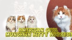 American Curl Munchkin Kitty Adorbs!! American Curl Kittens, Cat Beard, Elf Cat, American Wirehair, Savannah Kitten, Kitten Images, American Shorthair, Maine Coon Kittens, Munchkin Cat
