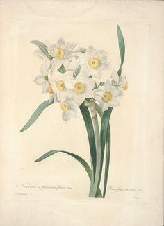 gravures de fleurs par Redoute -  narcisse a plusieurs fleurs - narcissus tazetta