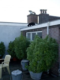 This is truly the most impressive lot of trees that I have witnessed firsthand since moving to Amsterdam. Like mentioned in a previous post of mine, A household can have up to five marijuana plants intended for personal use, regardless of the yield. Here we have two white widow and two amnesia haze plants that have been grown to perfection...