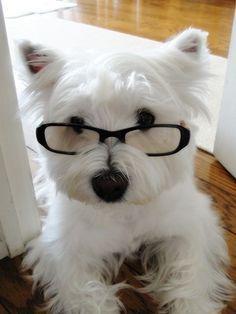 Westie Pup <3