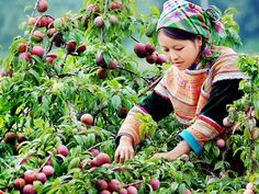 Viet Travel Magazine: Moc Chau plateau on the season of plum Best Travel Credit Cards, Can Tho, Plum Tree, Beautiful Fruits, Travel Magazines, Garden Trees, Ho Chi Minh City, Travel Images, Getting Bored