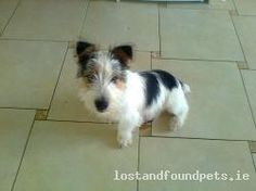 A male black and white jack russel cross dog / puppy / pup was found on Thu, Jan 31st, 2013 in Park Drive, Killarney, Kerry