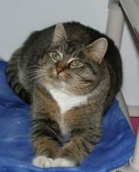 I'm Fedora, a graceful, quiet tabby available for adoption at Simply Cats in Boise, ID.  Repin this and help me find a forever home!