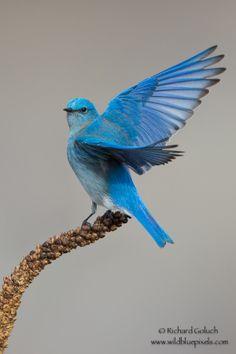 Mountain Bluebird displaying by Richard Goluch