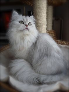 Photo chat de race Persan, Evangéline Des Fleurs De Sakura - Eleveurs-Online.com