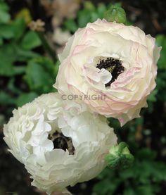 Gerade gefunden auf http://shop313566.fineartprint.de  Ranunkel, Natur, Pflanzen, Landschaft, Blumen, Blüten, Bauerngarten, Garten