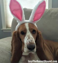 What? You've never seen an Easter Basset before? - Izzy the Basset Hound on Easter
