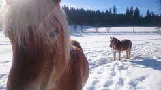 Horses, Animals, Snow, Animales, Animaux, Animal, Animais, Horse
