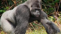 The Aspinall Foundation helped rear Djala after his family were massacred when he was a baby. Now a magnificent silver-back, he is returning to the wild with his own family.