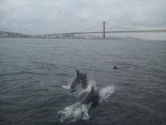 Dolphins at river Tejo! #lisbon