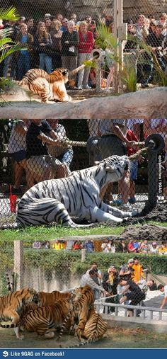 Tiger tug-o-war! One of the biggest problems in zoos is animals getting bored.