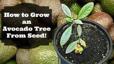 Learn How to Grow an Avocado Tree from Seed! Vegetable Garden, Garden Plants, Indoor Plants, Growing An Avocado Tree, Avocado Seed, Grow Your Own Food, Container Gardening, Outdoor Gardens, Seeds
