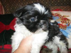 Tiny Shih Tzu  awww...then they grow up!!! Haha we love our Dixie