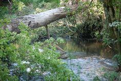 Árvore tombada. Rio Ulla, próximo a Bastavales, na Galícia, Espanha.