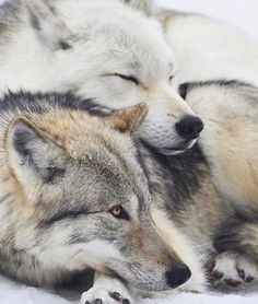🐺If you Love Wolves, You Must Check The Link In Our Bio 🔥 Exclusive Wolf Related Products on Sale for a Limited Time Only! Tag a Wolf Lover! 📷: Please DM . No copyright infringement intended. All credit to the creators. Wolf Photos, Wolf Pictures, Wolf Love, Animals And Pets, Funny Animals, Cute Animals, Wild Animals, Baby Animals, Beautiful Creatures