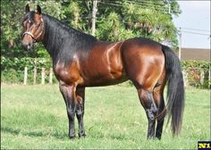 Question Walker - Bay quarter horse